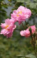 首期玫瑰花傲然开放