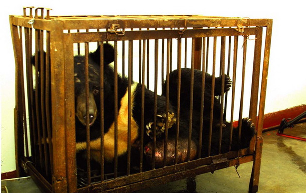 被关在笼子里的黑熊