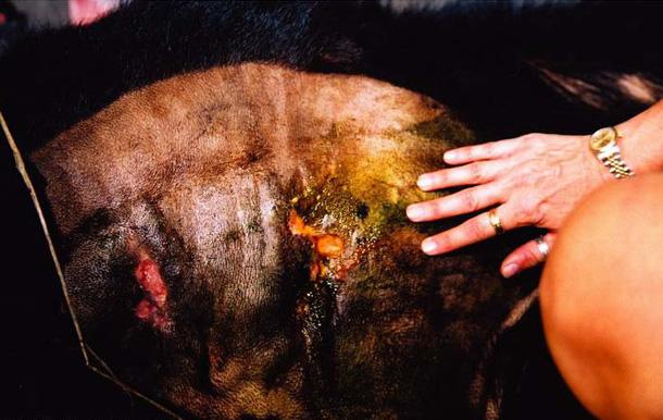 被取胆汁黑熊的腹部