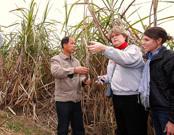广西蔗糖产区可持续农业试点项目