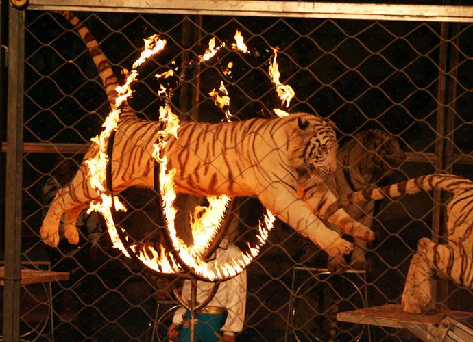 一只老虎被迫跳过火焰熊熊的铁圈