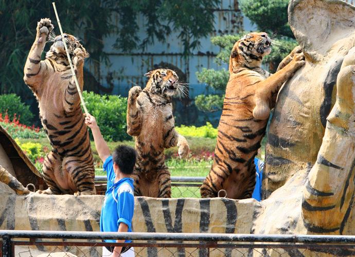 花车游行中的老虎被不断地训斥抽打,其中一只关节处有异常